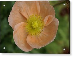 Acrylic Print featuring the photograph Poppy by Heidi Poulin