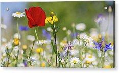 Poppy In Meadow  Acrylic Print