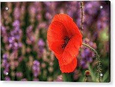 Poppy In The Lavender Field Acrylic Print