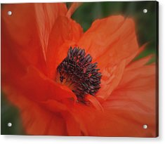 Poppy Love Acrylic Print by Martin Morehead
