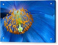 Poppy Acrylic Print by Margaret Barry