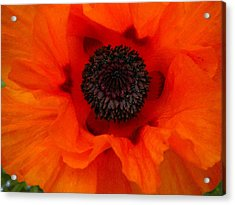 Acrylic Print featuring the painting Poppy by Renate Nadi Wesley