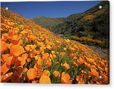 Acrylic Print featuring the photograph Poppy Superbloom by Cliff Wassmann