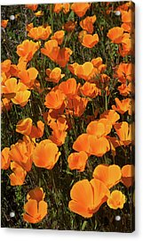 Acrylic Print featuring the photograph Poppy Superbloom Close Up by Cliff Wassmann