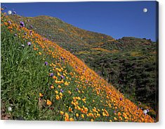 Acrylic Print featuring the photograph Poppy Superbloom On Hillside by Cliff Wassmann