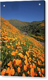 Acrylic Print featuring the photograph Poppy Superbloom Vertical by Cliff Wassmann
