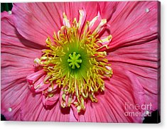Poppy Acrylic Print by Vivian Krug Cotton