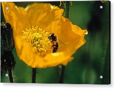 Poppy With Bee Friend Acrylic Print by Laurie Paci