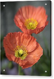 Poppys Acrylic Print by Barry Culling