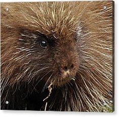 Acrylic Print featuring the photograph Porcupine by Glenn Gordon