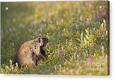 Porcupine In Flowers Acrylic Print by Tim Grams