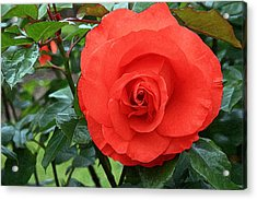Portland Rose Garden Acrylic Print by Margaret Hood