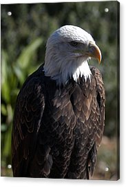 Portrait Bald Eagle  Acrylic Print