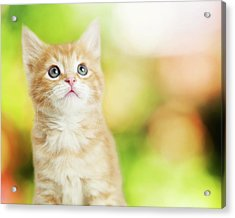 Portrait Cute Kitten Blurred Scenic Background Acrylic Print by Susan Schmitz