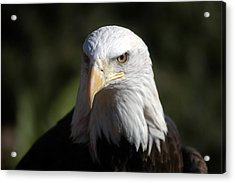 Portrait Of A Bald Eagle Acrylic Print