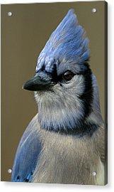 Portrait Of A Bluejay Acrylic Print