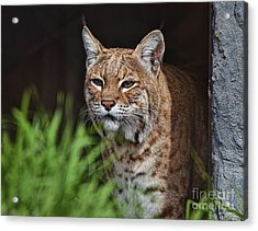 Portrait Of A Bobcat II Acrylic Print by Jim Fitzpatrick