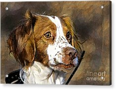 Acrylic Print featuring the photograph Portrait Of A Brittany - D009983-a by Daniel Dempster