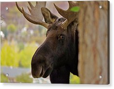 Portrait Of A Bull Moose Acrylic Print