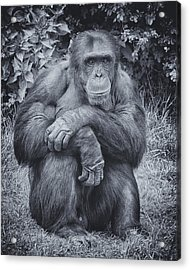 Portrait Of A Chimp Acrylic Print