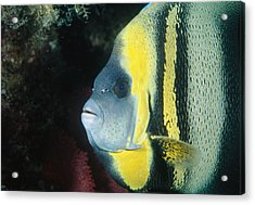 Portrait Of A Cortez Angelfish Acrylic Print by James Forte