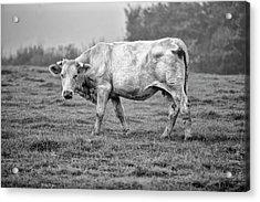 Portrait Of A Cow Acrylic Print by Nailia Schwarz