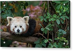 Portrait Of A Curious Red Panda Acrylic Print