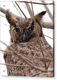 Portrait Of A Great Horned Owl Acrylic Print by Wingsdomain Art and Photography