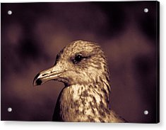 Portrait Of A Gull Acrylic Print
