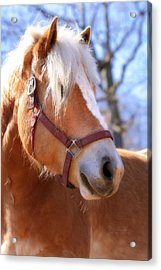 Acrylic Print featuring the photograph Portrait Of A Haflinger - Niko by Angela Rath