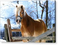Portrait Of A Haflinger - Niko In Winter Acrylic Print by Angela Rath