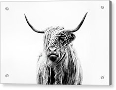 Portrait Of A Highland Cow Acrylic Print