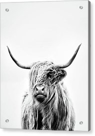 Portrait Of A Highland Cow - Vertical Orientation Acrylic Print