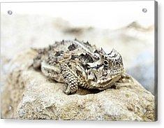 Portrait Of A Horned Lizard Acrylic Print by JC Findley