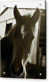 Portrait Of A Horse Acrylic Print by Toni Hopper