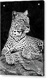 Portrait Of A Leopard Acrylic Print by Richard Garvey-Williams