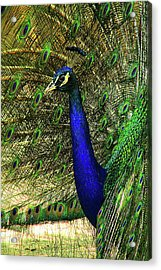 Acrylic Print featuring the photograph Portrait Of A Peacock by Jessica Brawley