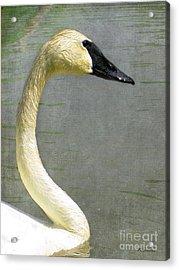 Portrait Of A Pond Swan Acrylic Print by Nina Silver