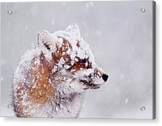 Portrait Of A Red Fox In A Blizzard Acrylic Print