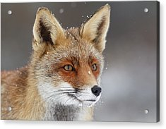 Portrait Of A Red Fox In The Snow Acrylic Print