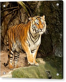 Portrait Of A Royal Bengal Tiger Acrylic Print