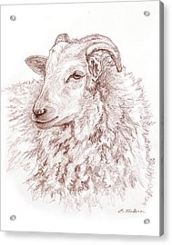 Portrait Of A Sheep Acrylic Print by Phyllis Tarlow