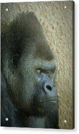 Portrait Of A Silverback Gorilla Acrylic Print