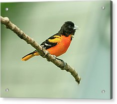 Portrait Of A Singing Baltimore Oriole Acrylic Print
