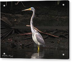 Portrait Of A Tri-colored Heron Acrylic Print by Barbara Bowen
