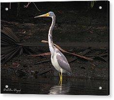 Portrait Of A Tri-colored Heron Acrylic Print by Barbara Bowen