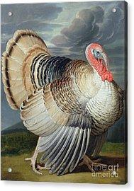 Portrait Of A Turkey  Acrylic Print by Johann Wenceslaus Peter Wenzal