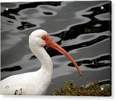 Portrait Of A White Ibis Acrylic Print by Rosalie Scanlon
