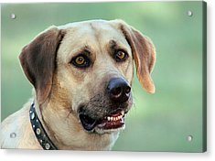 Portrait Of A Yellow Labrador Retriever Acrylic Print by Sheila Brown