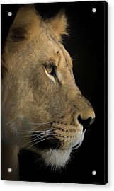 Acrylic Print featuring the digital art Portrait Of A Young Lion by Ernie Echols